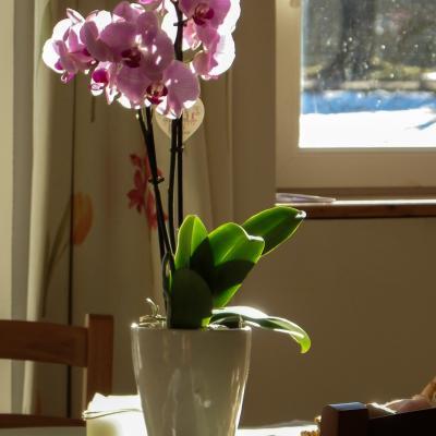 orchidée et neige