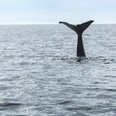baleine en plongée