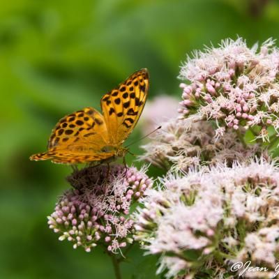 JYG papillon-1119