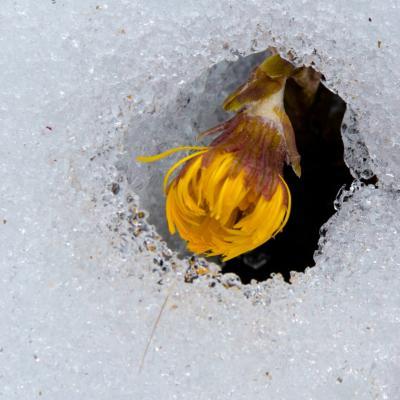 perce-neige (au sens propre)