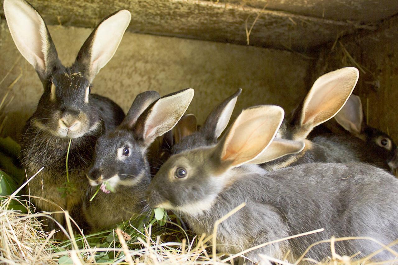 lapin chèvre (chez Evelyne Tézier)