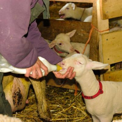 Laure et ses agneaux 10