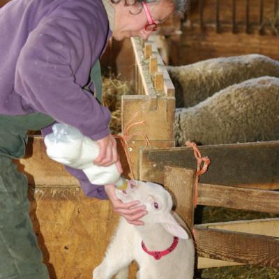 Laure et ses agneaux