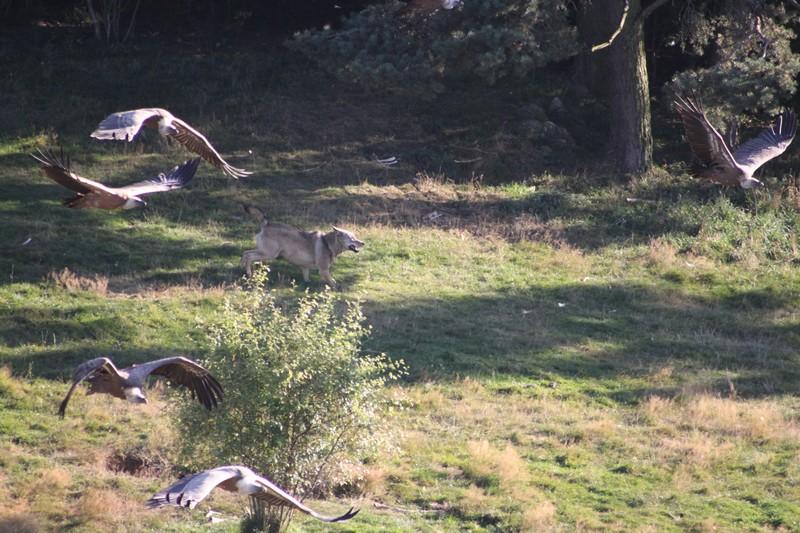 Loup et vautours