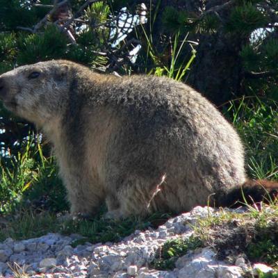 Marmotte à Peyre Rouge