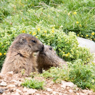 Marmottes au pas de chatons