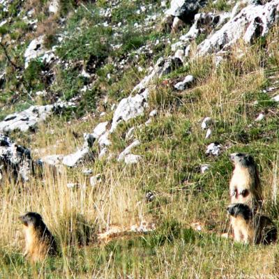 Marmottes dans la clairière de Derbounouze