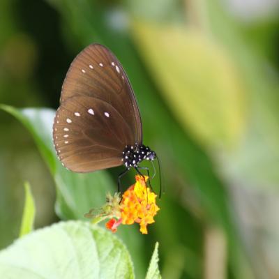 HYPOLIMNAS BOLINA sur  LANTANA ( Nouvelle-Calédonie)