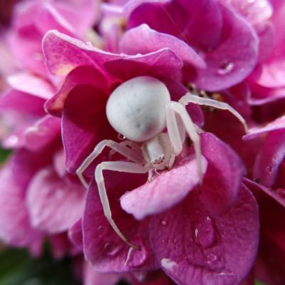 THOMISE femelle ( dite araignée crabe ) sur HORTENSIA