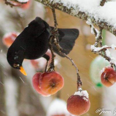 merle sous la neige mangeant des pommes