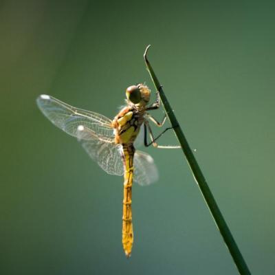 MO-libellules-4551