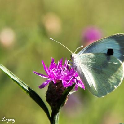 MO-papillon-4731