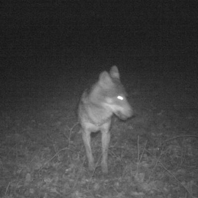loup dans mon pré