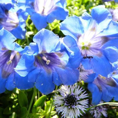 P'tite fourmi bleue dans une gentiane