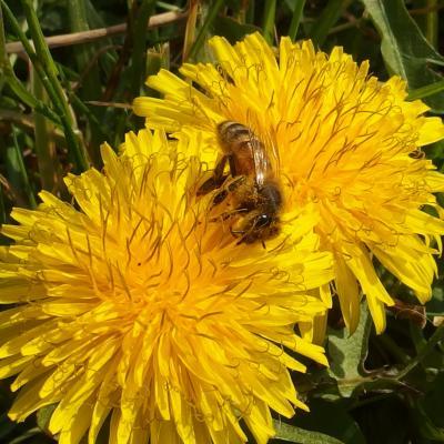 mon premier pollen ! miam miam !