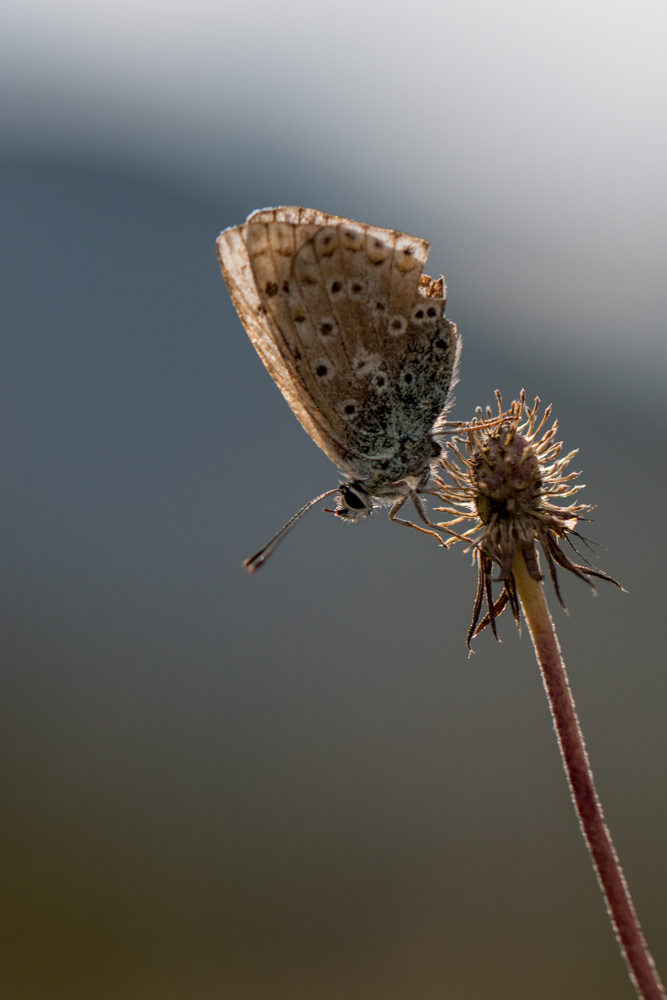 Papillon Vassieux-1