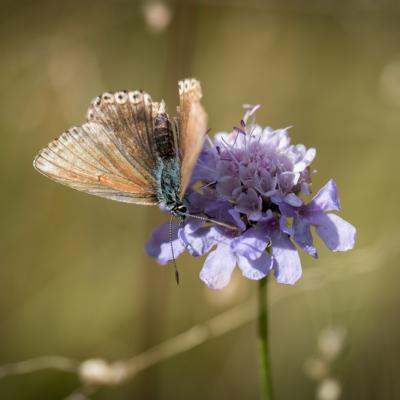 Papillon Vassieux-2