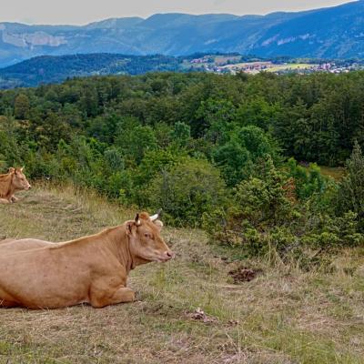 vache villarde (chez Sébastien Revol)