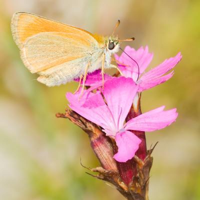 papillon ? sur oeillet
