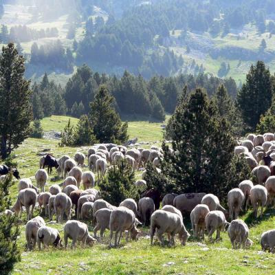 troupeau de brebis de la bergerie du faisan, saint Agnan