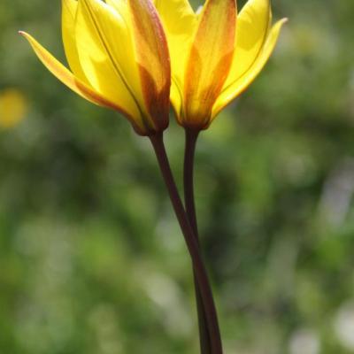 tulipes amoureuses