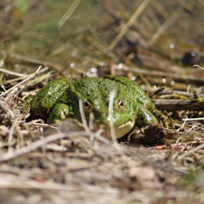 Un crocodile à Echevis