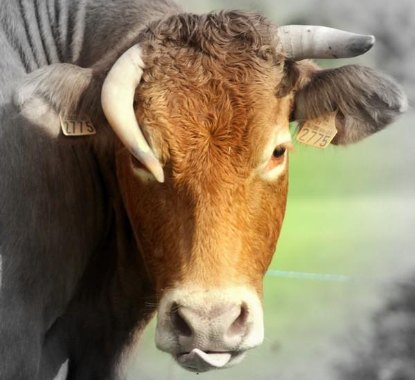Vache qui ne rit pas !