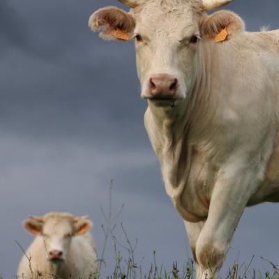 Vaches St Martin en Vercors